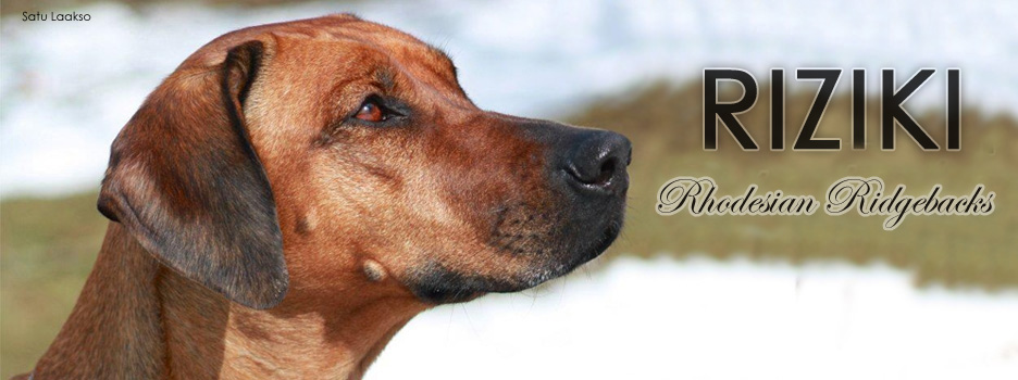 We breed Rhodesian Ridgebacks in Finland